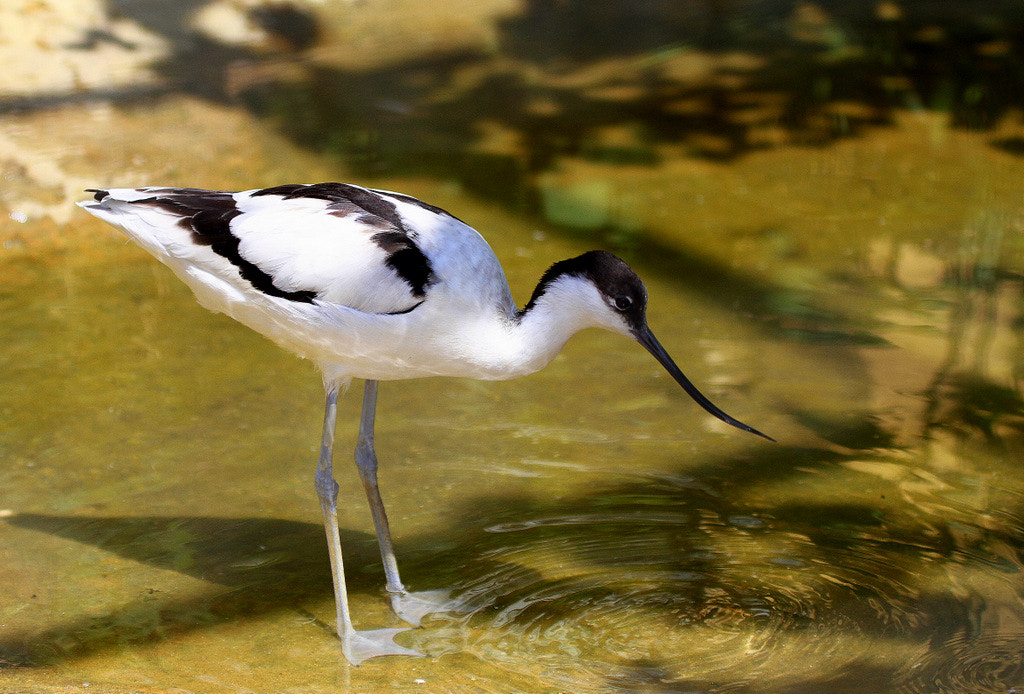 Photograph Pied avocet by Rainer Leiss on 500px