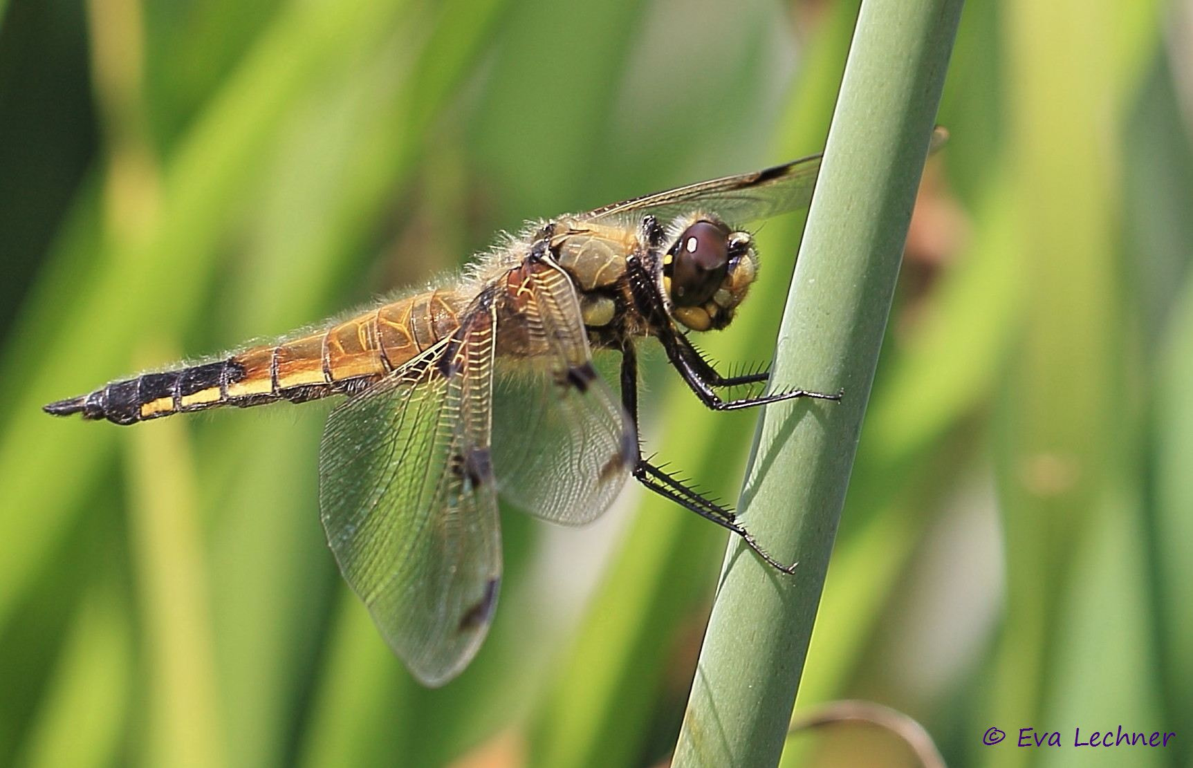 Photograph Dragonfly by Eva Lechner on 500px