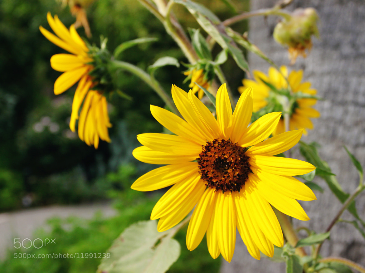 Photograph Front, side and rear Sunflower Brothers by susan spinola on 500px