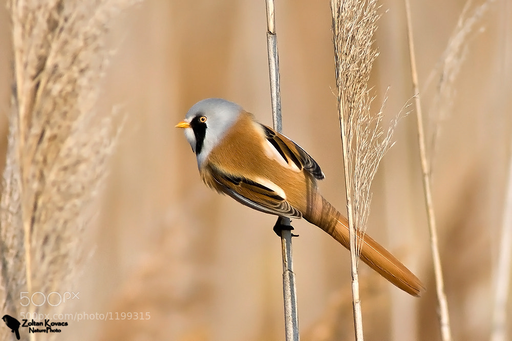 Photograph Bearded reedling (Panurus biarmicus) by Zoltan Kovacs on 500px