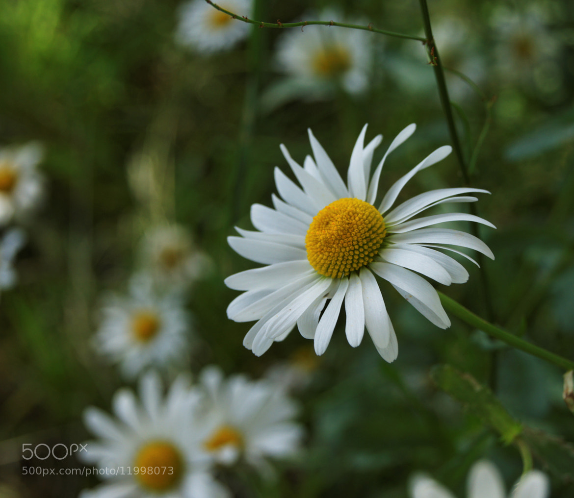 Photograph Big Daisy by Adhib M on 500px