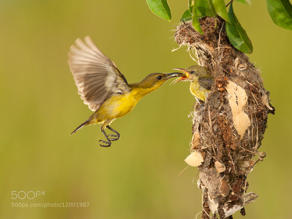 Photograph Sun Bird by Iwan Tirtha on 500px