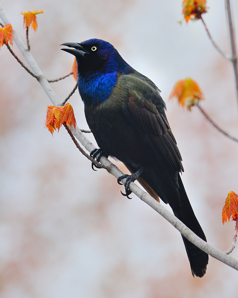 Photograph Common Grackle by Tony Beck on 500px
