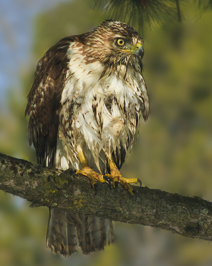 Photograph Red-Tailed Hawk by Michael Lawson on 500px
