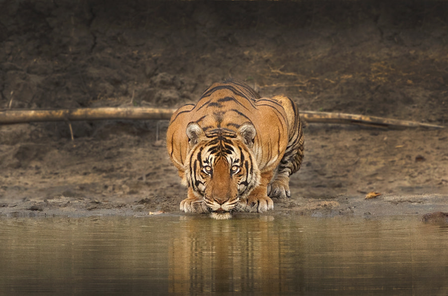 Photograph Tiger in golden light  by Shaaz Jung on 500px