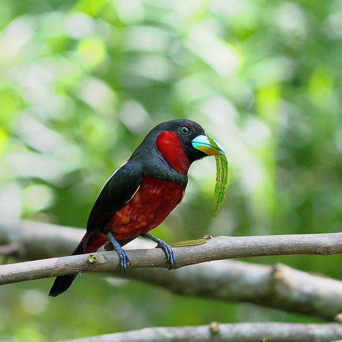 Photograph Black and Red Broadbill by Poo Pix on 500px