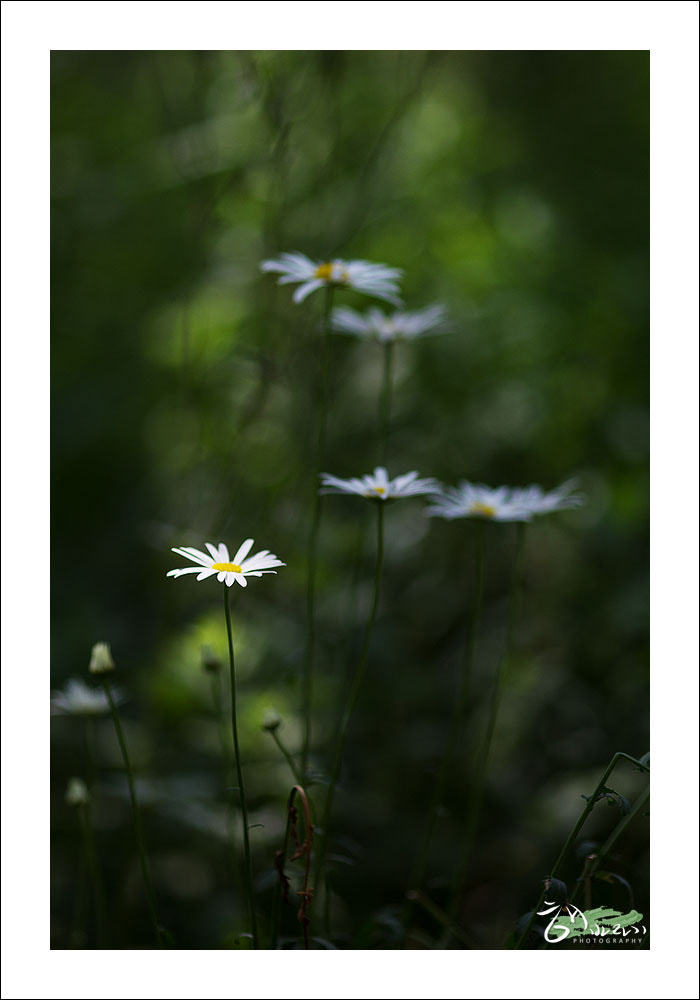 Photograph Aster koraiensis Nakai by Chris B. on 500px