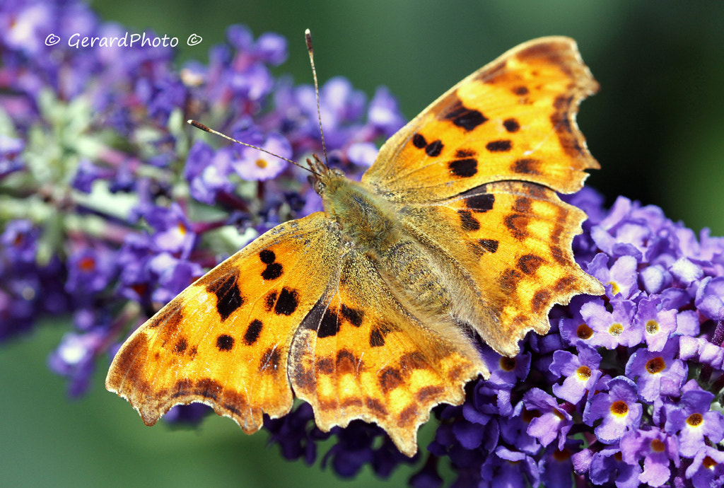 Photograph Butterfly wings by Gerard Photo on 500px