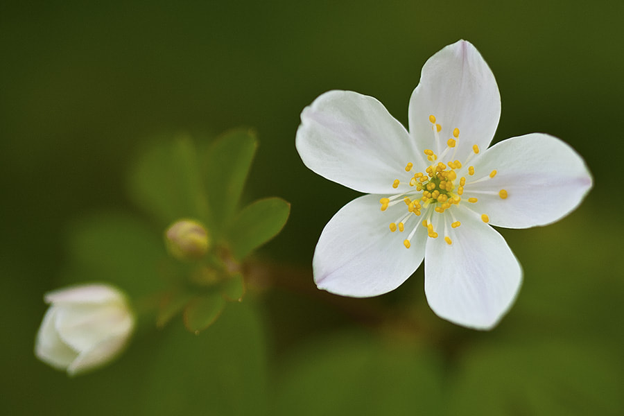 Photograph Woodland Flower by Penny Britten on 500px