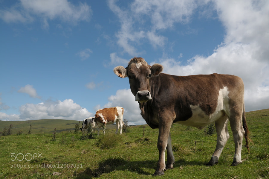 A cow for production of St  Nectaire (french cheese) by Yann Riché (yadelair) on 500px.com