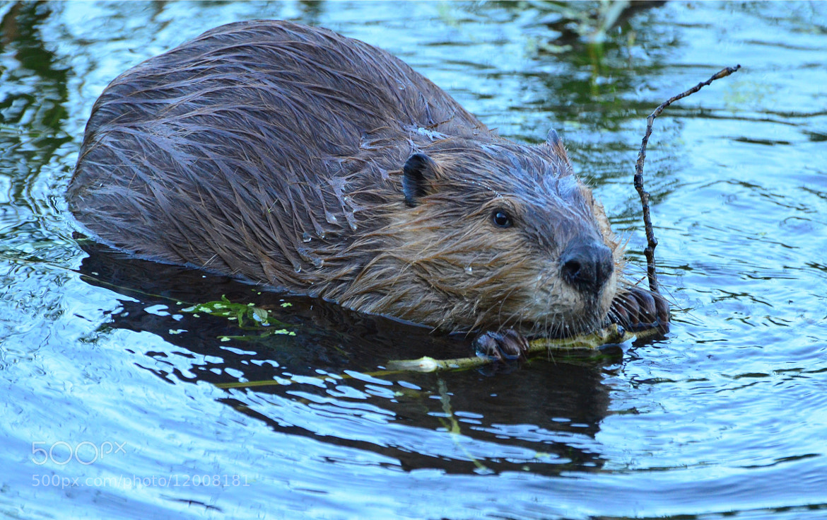 Photograph Slick Beaver by Jeff Clow on 500px