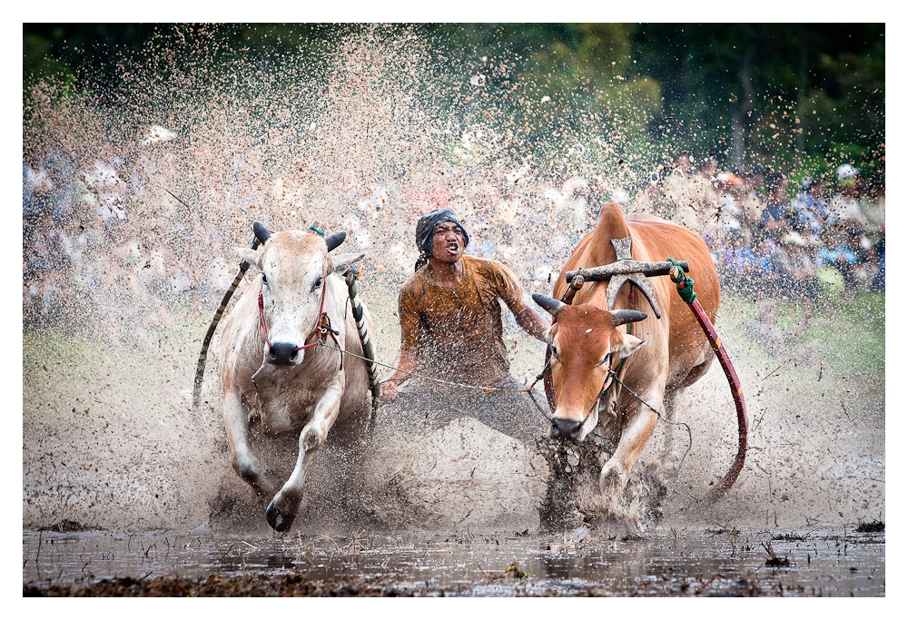 Photograph Cow Race Indonesian style by Peter Pham on 500px