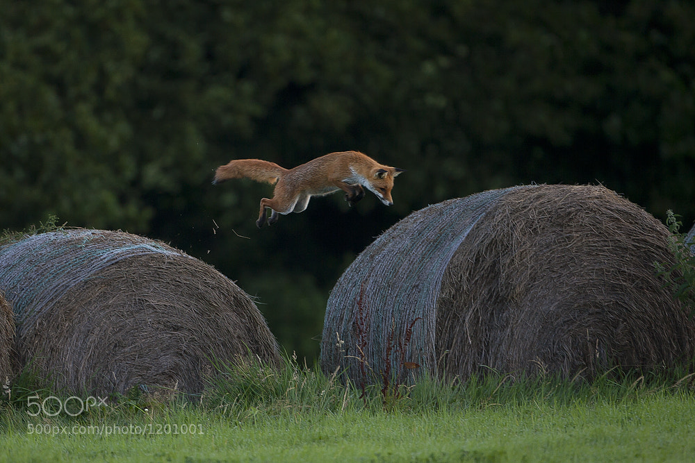 Photograph Fox Pouncing on Mouse by Dale Sutton on 500px