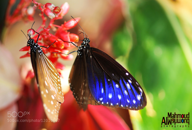 Photograph Butterflies 0016 by Mahmoud Al-Mahmoud on 500px