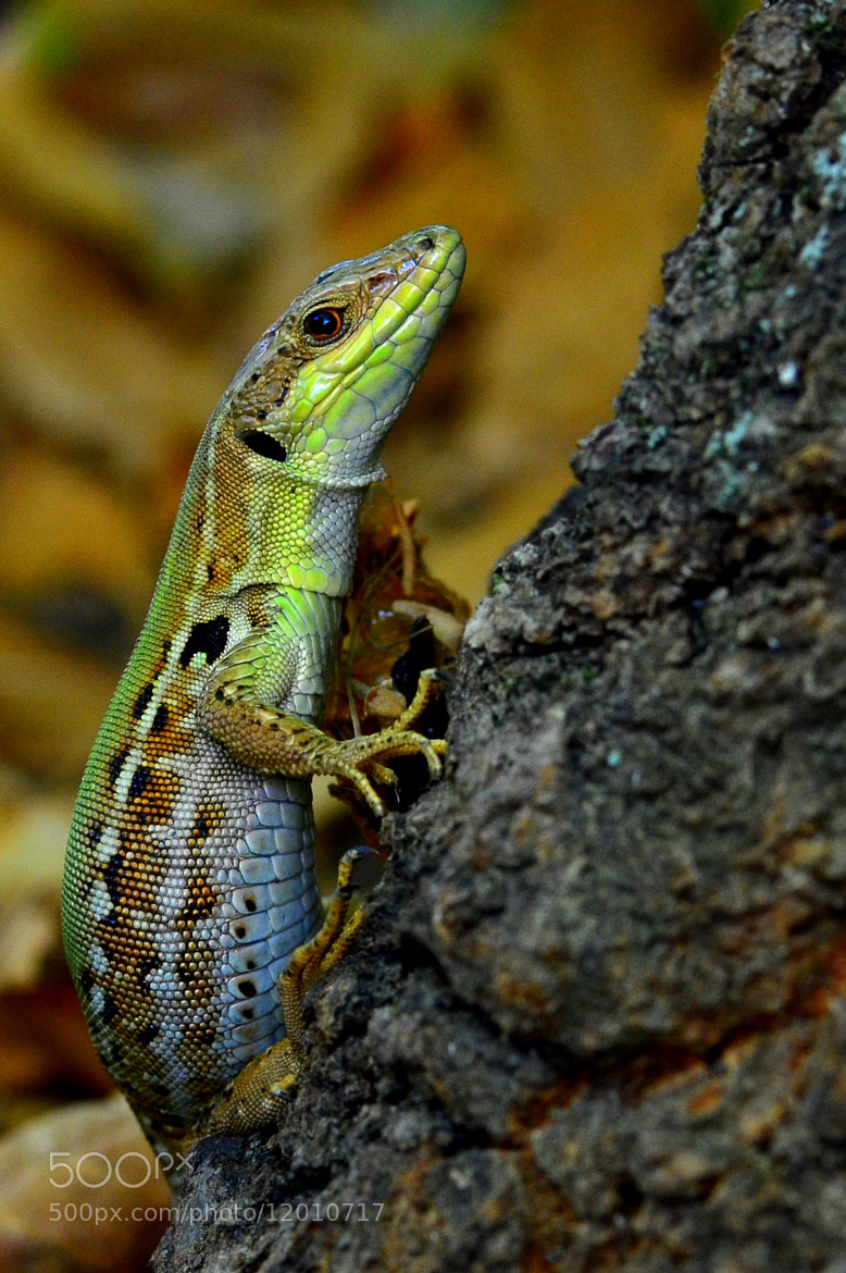 Photograph lizard by sweet misery on 500px