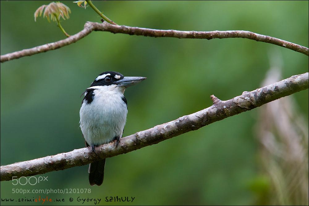 Photograph Sombre Kingfisher (Todiramphus funebris) by Gyorgy Szimuly on 500px