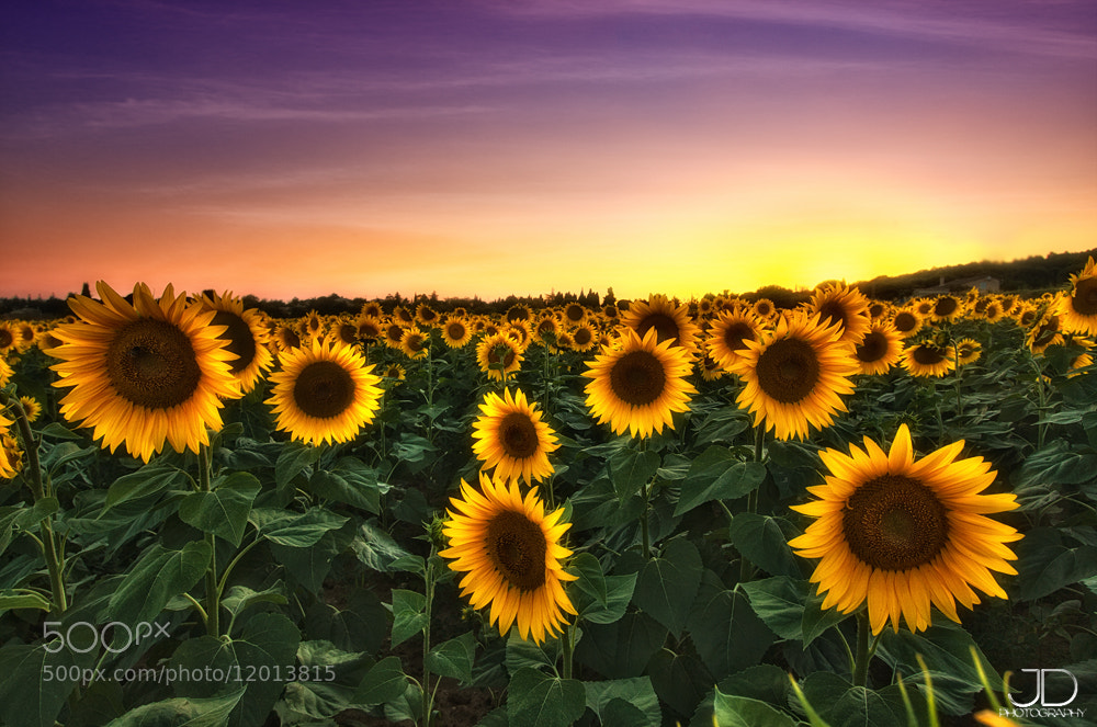 Photograph Sunflowers by Julien Delaval on 500px