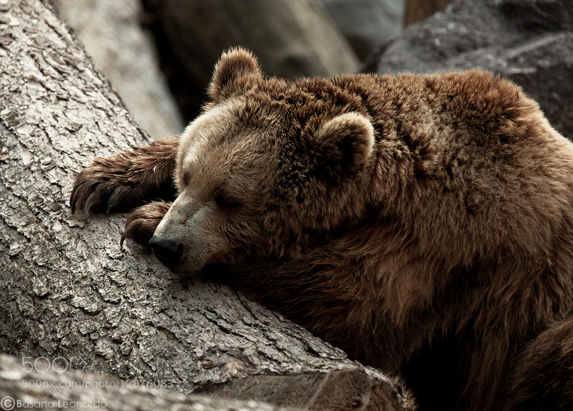 Photograph Sleeping bear by Leonardo Basana on 500px