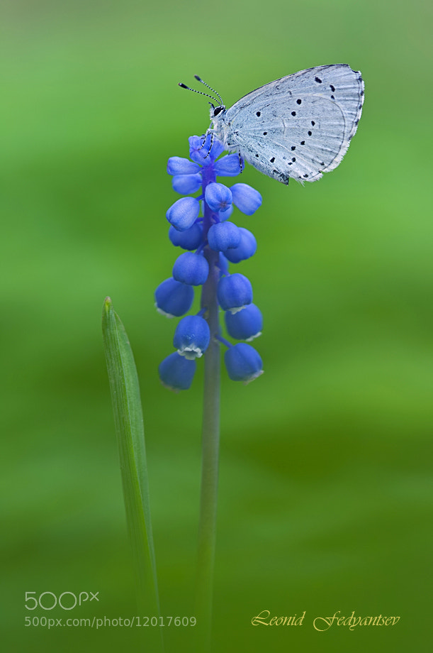 Photograph Holly Blue & Muscari by Leonid Fedyantsev on 500px