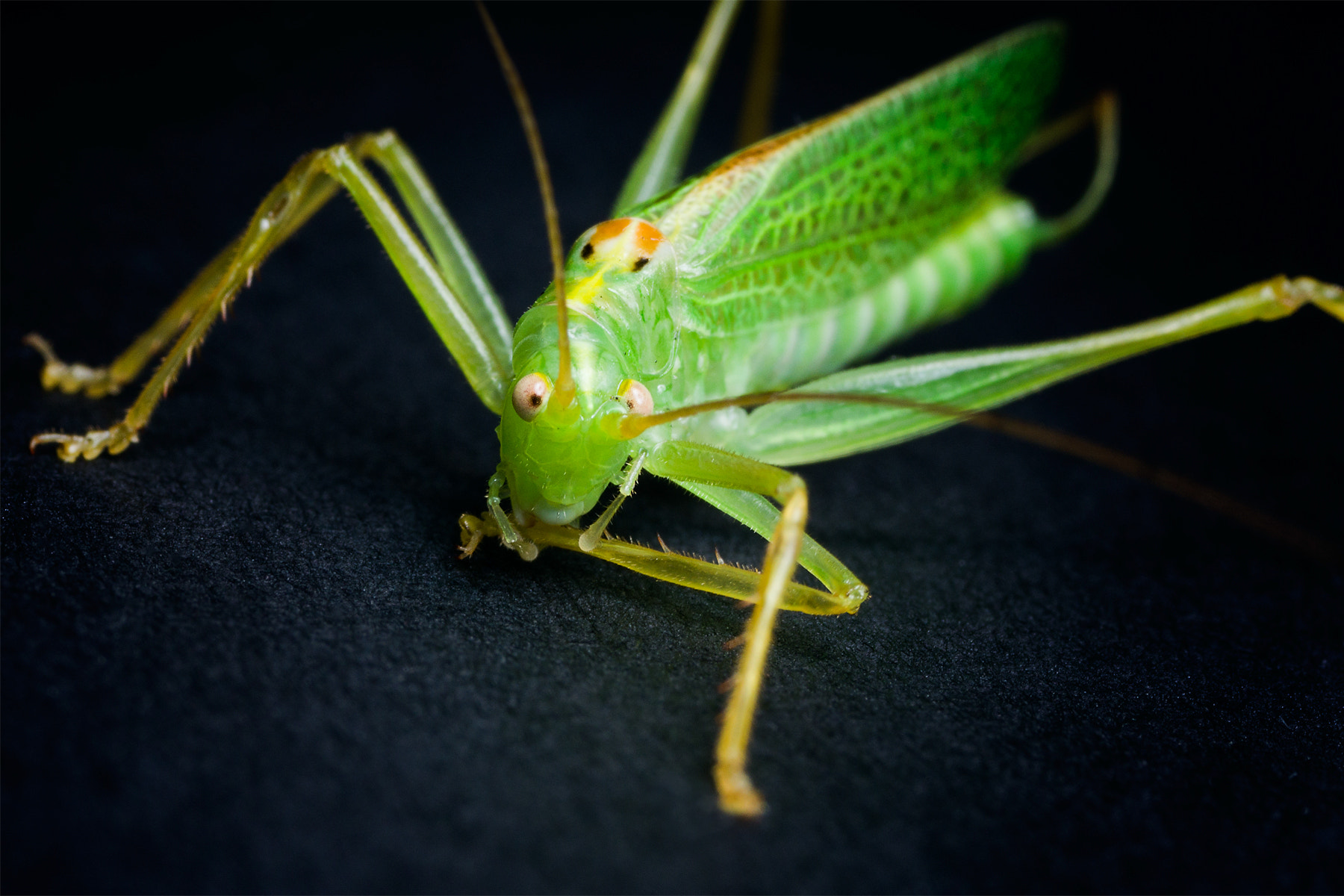 Photograph Speckled Bush Cricket by Richard Iles on 500px