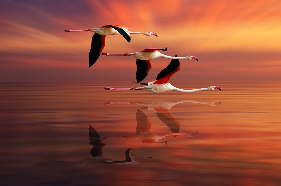 Photograph FLAMINGOS by Nasser Osman on 500px