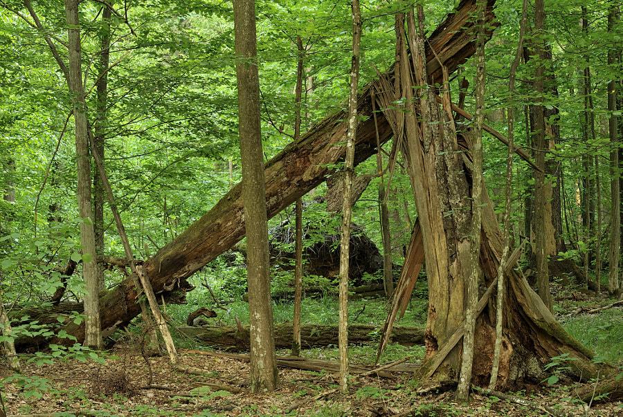 Primeval atmosphere #9 / Bialowieza forest (Poland