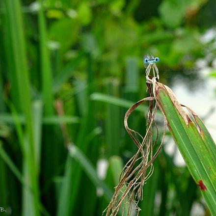 Blue eyes / Calopteryx