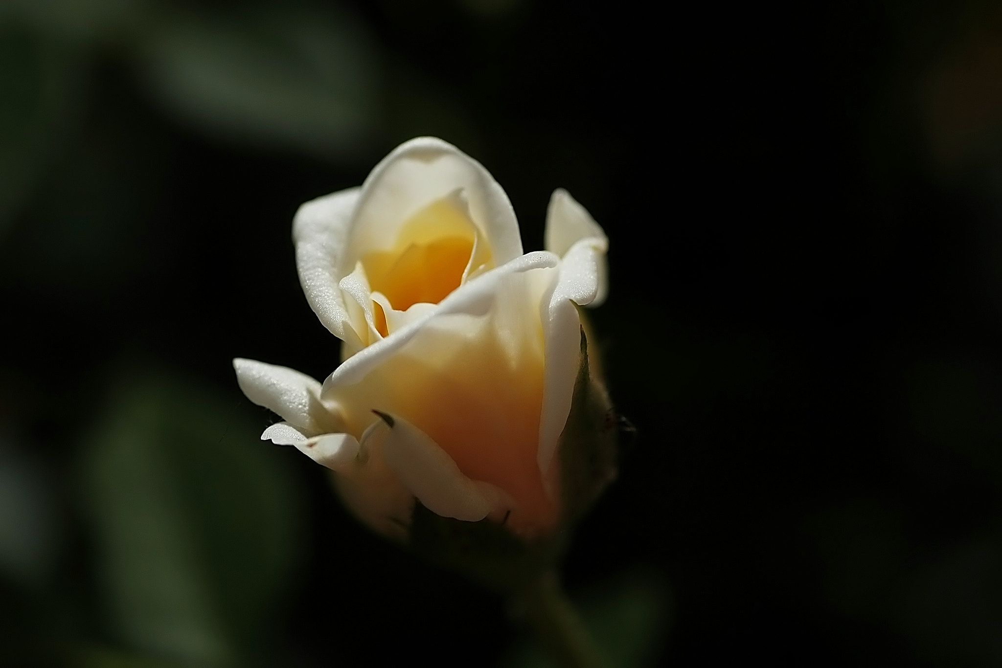 Photograph Rose .:DREAM:. by Frank Weil a. Rh. on 500px