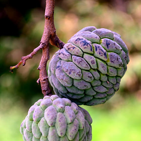 Custard Apple by Manoj Pandey (Nikon)