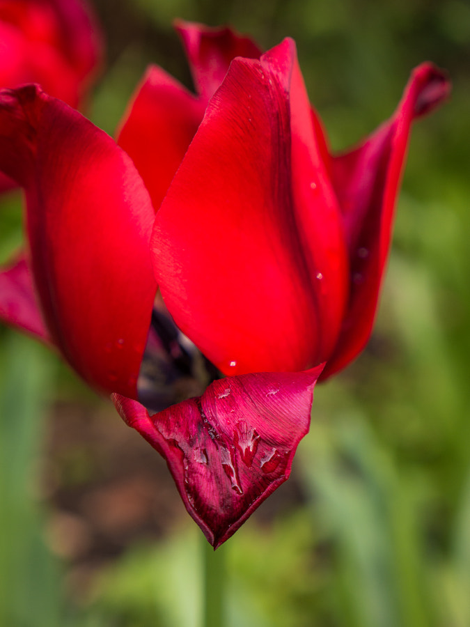 "Photograph ""Red Tears"" Tulip by Travis Chau on 500px"