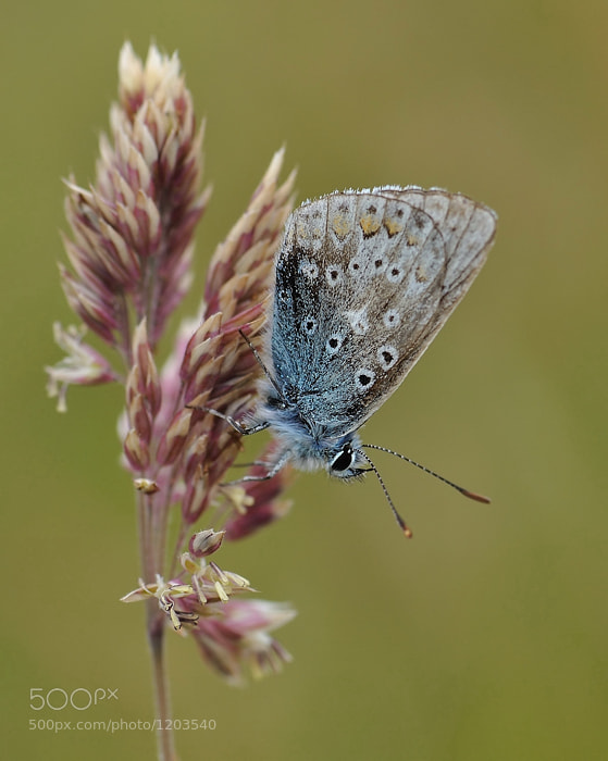 Photograph Common blue butterfly by Rónán McLaughlin on 500px