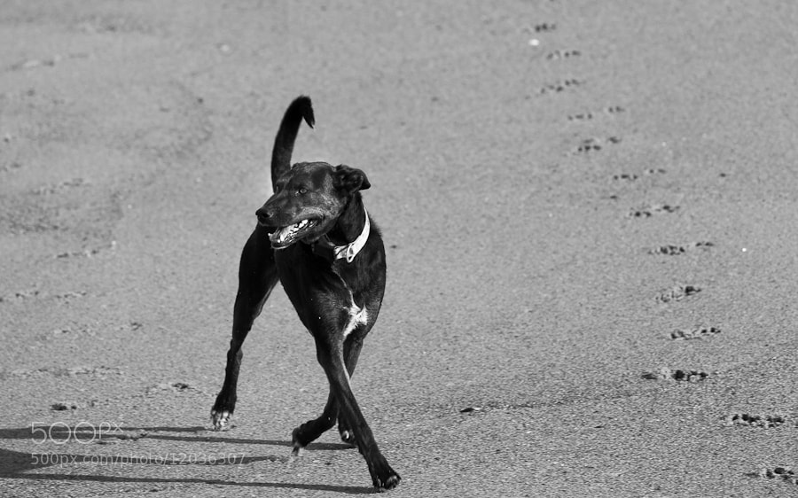 Photograph Romeo at the Beach, Plum Island, Massachusetts by Stanton Champion on 500px