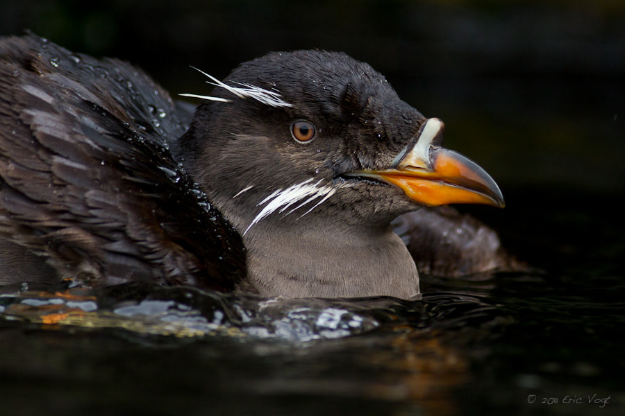 Photograph Rhinoceros Auklet by Eric Vogt on 500px