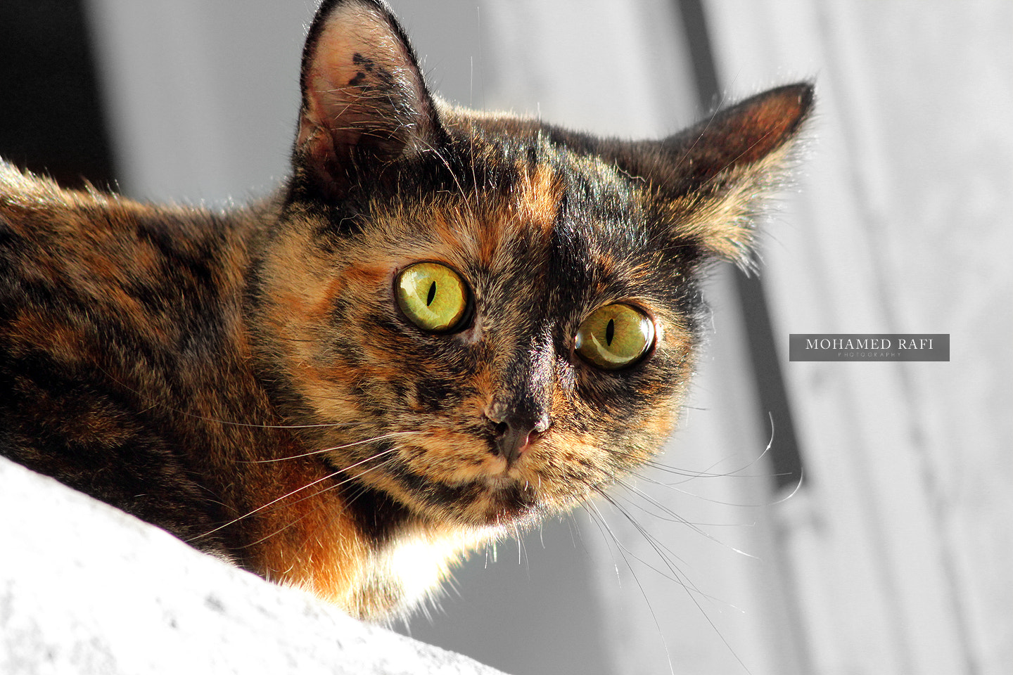 Photograph Galise- The cat by Mohamed  Rafi on 500px