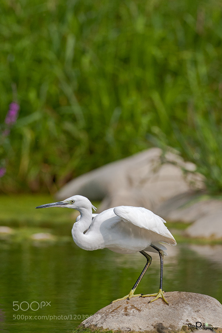 Photograph Egret in ambush by Massimo Dadone on 500px