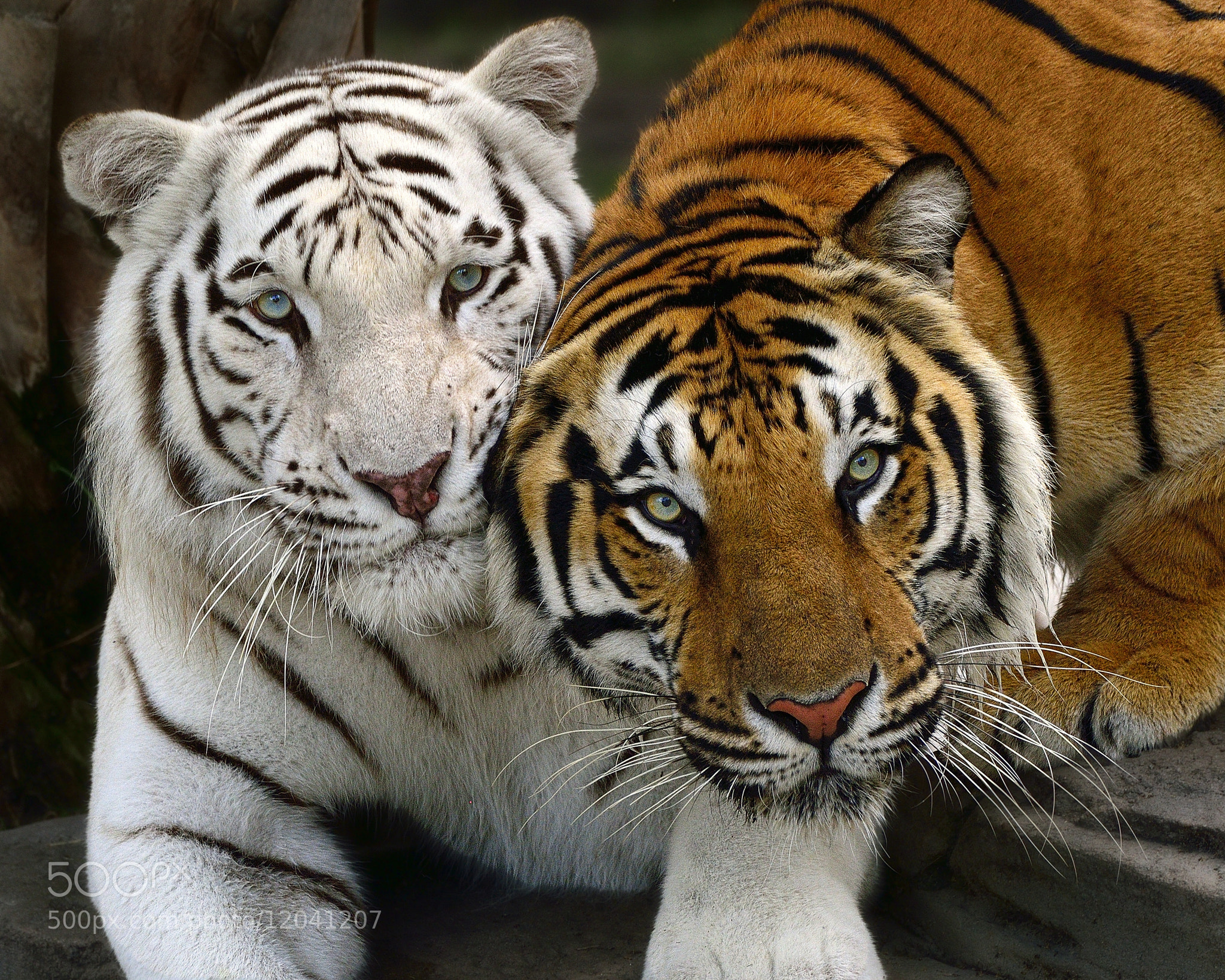 Orange Bengal Tiger Cubs Pictures to Pin on Pinterest ...