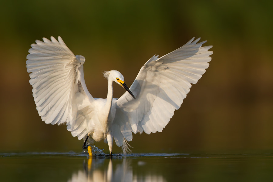 Photograph Snowy Egret by Patryk Osmola on 500px