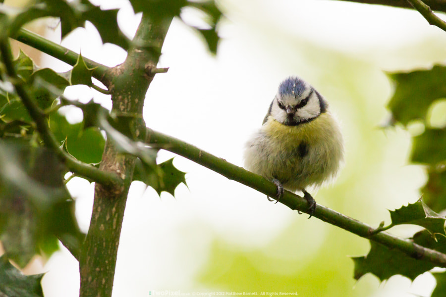 Photograph Bluetit & Holly by Matthew Barnett on 500px