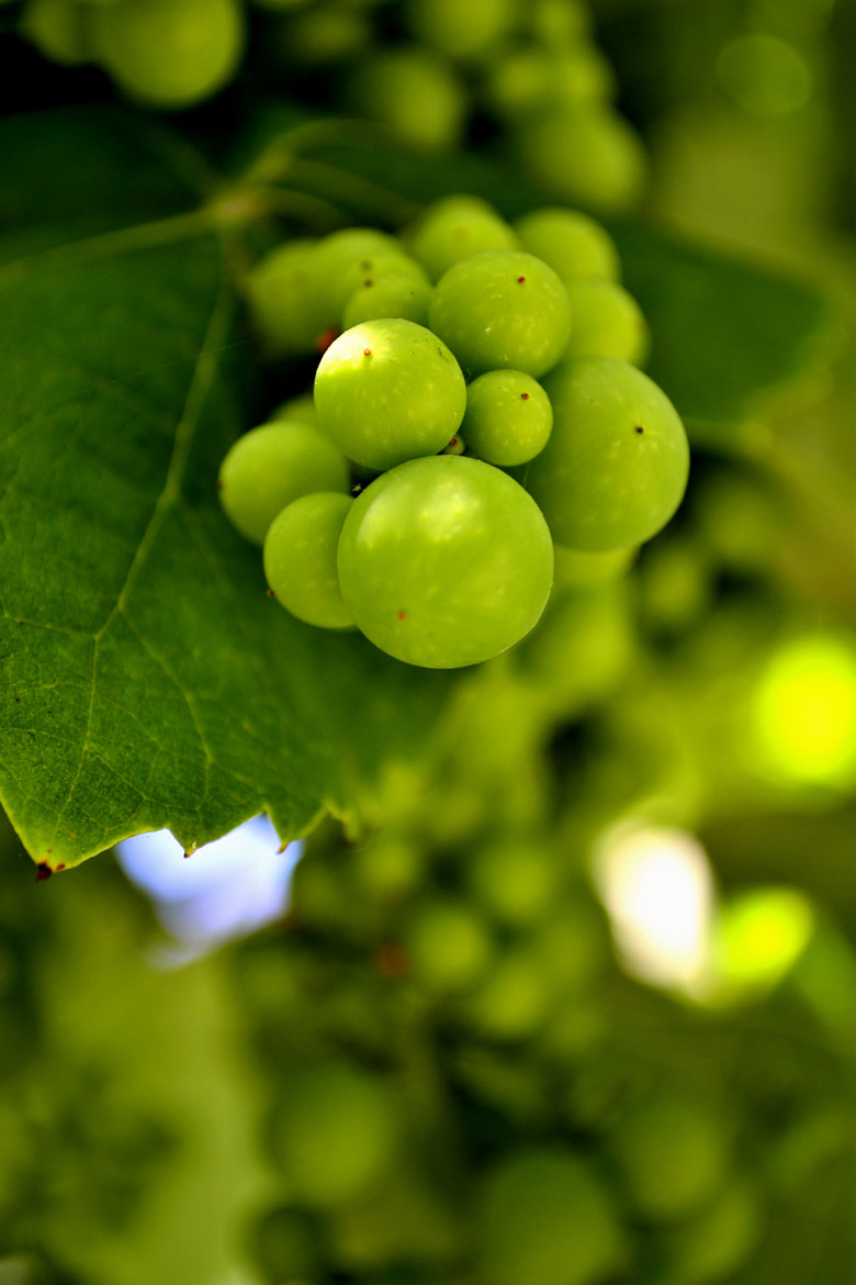 Photograph Frut of wine.. by cesar rodriguez on 500px