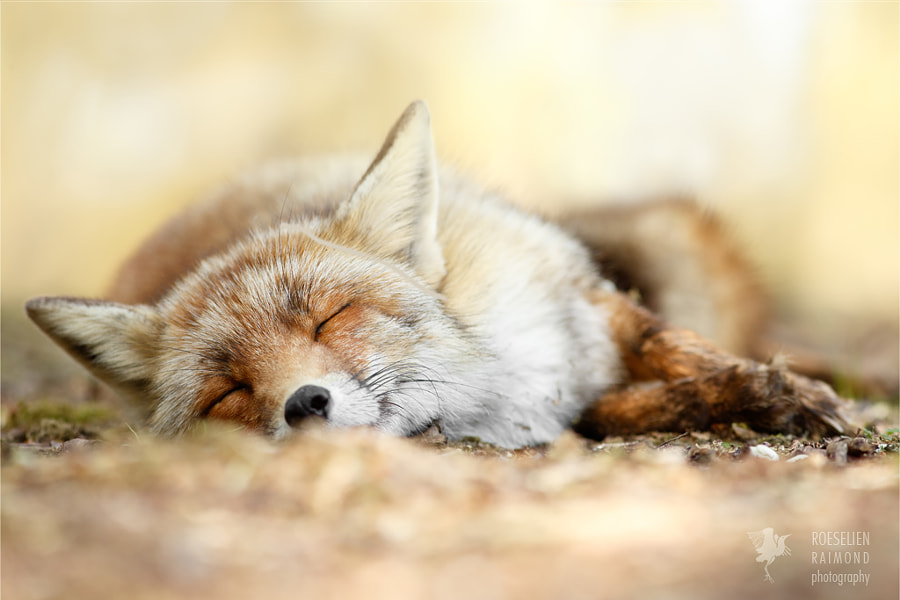 Sweet Dreams - Red Fox taking a nap by Roeselien Raimond on 500px.com