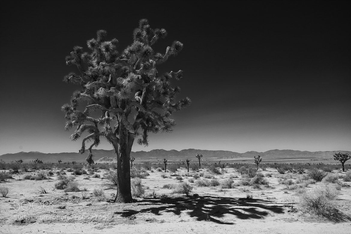Photograph Joshua Tree by Mickey Strider on 500px