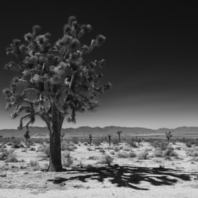 Joshua Tree by Mickey Strider (mstrider)) on 500px.com