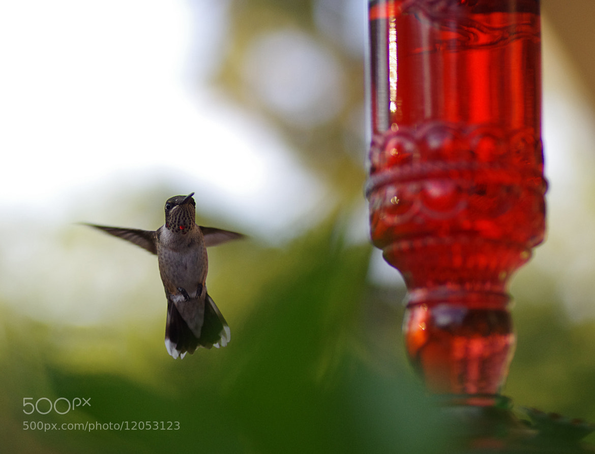 Photograph Young male Ruby throated hummingbird by Angela Freeman on 500px