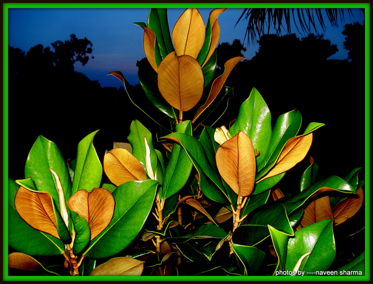 Photograph RUBBER PLANT GLAMOUR by naveen sharma on 500px
