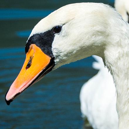 Swan - Lake Ossiach