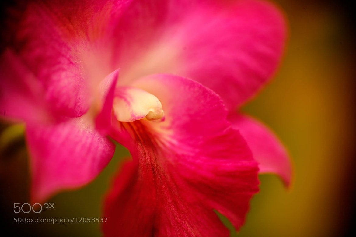 Photograph Cattleya by Phuc H.  Nguyen on 500px