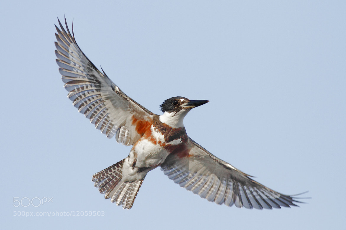Photograph Belted Kingfisher by Salah Baazizi on 500px