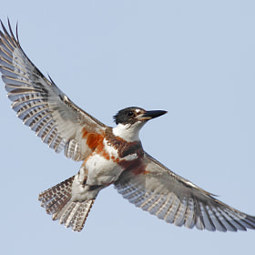 Belted Kingfisher by Salah Baazizi (bmse)) on 500px.com