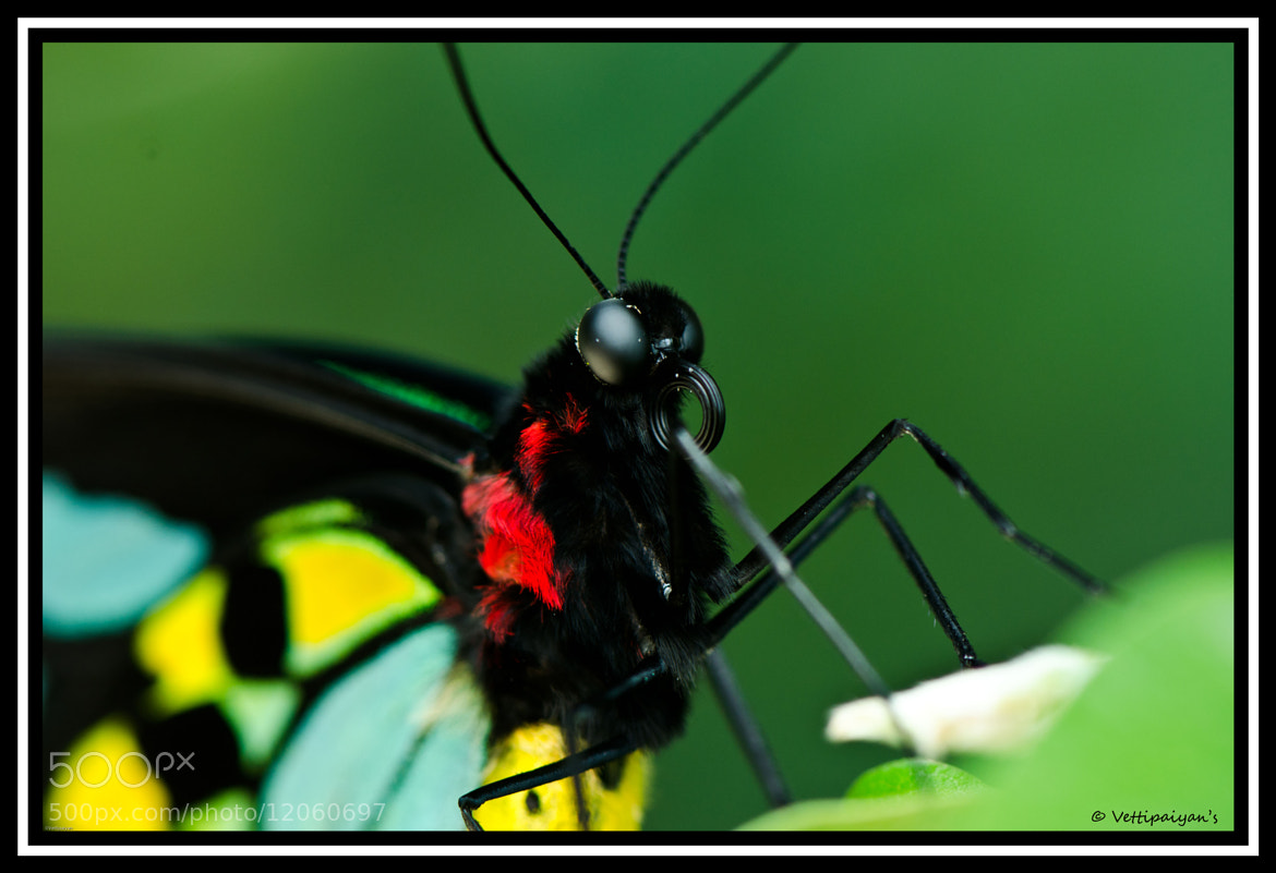 """Photograph Butterfl""""EYE"""" contact by Surendran Narayanamoorthy on 500px"""