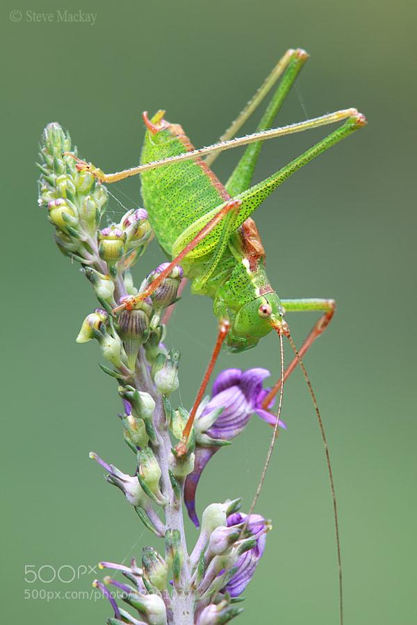 Photograph Speckled Bush Cricket by Steve Mackay on 500px
